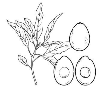 鳄梨树枝和鳄梨简笔画
